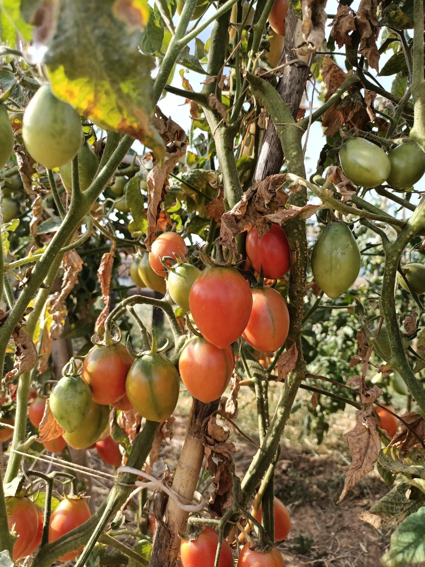 foto tomata pruna