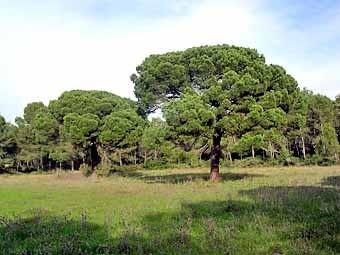 Veiem aquests exemplars de pins