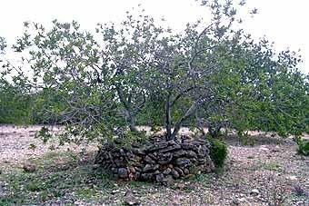 Les trones. Aquestes pedres que envolten  el  tronc, el protegeixen de la sequera i dels aiguats, així com de les ventades habituals a la costa. Les  trones són usuals en terres tarragonines.