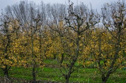Fruita a la Plana de Lleida