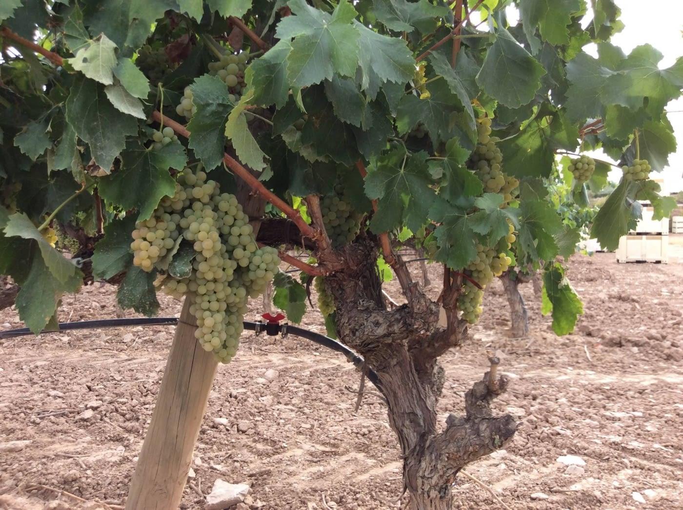 Verdú, terra de vins