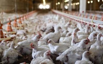 Agricultores en alerta máxima por la enfermedad de Newcastle