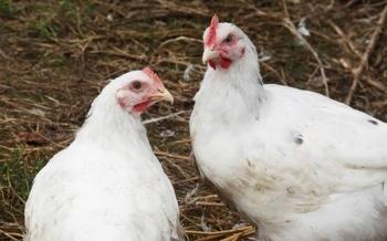 El descubrimiento de genes podría conducir a mejores vacunas para aves de corral