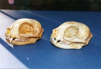 Crani de gat