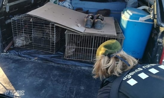 Agents Rurals denuncien dos caçadors per repoblar conills sense autorització en una àrea privada de caça a la Segarra