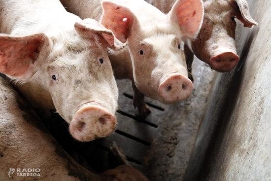 El Govern crea una comissió interdepartamental per a la lluita contra la pesta porcina africana