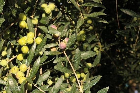 Unió de Pagesos alerta d'una davallada d'entre el 30% i el 805 de la producció d'olives per la meteorologia adversa