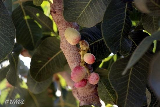 Borges Agricultural & Industrial Nuts de Tàrrega suma més de 158 hectàrees de pistatxos en 4 anys