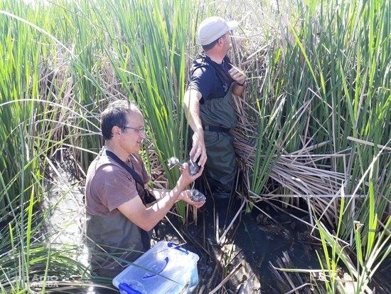 L'estany d'Ivars i Vila-sana acull per primera vegada un projecte de monitoratge de bernat pescaire