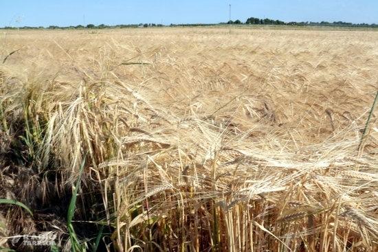 Les comarques de Lleida inicien la recol·lecció del cereal d'hivern en un any en què es preveu menys producció