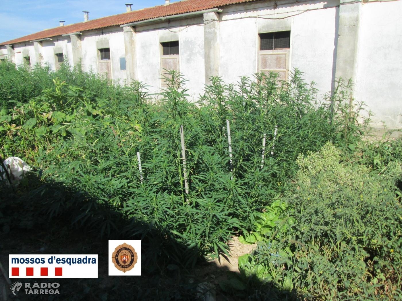 Els Mossos d'Esquadra detenen una persona i desmantellen una plantació de marihuana a Agramunt