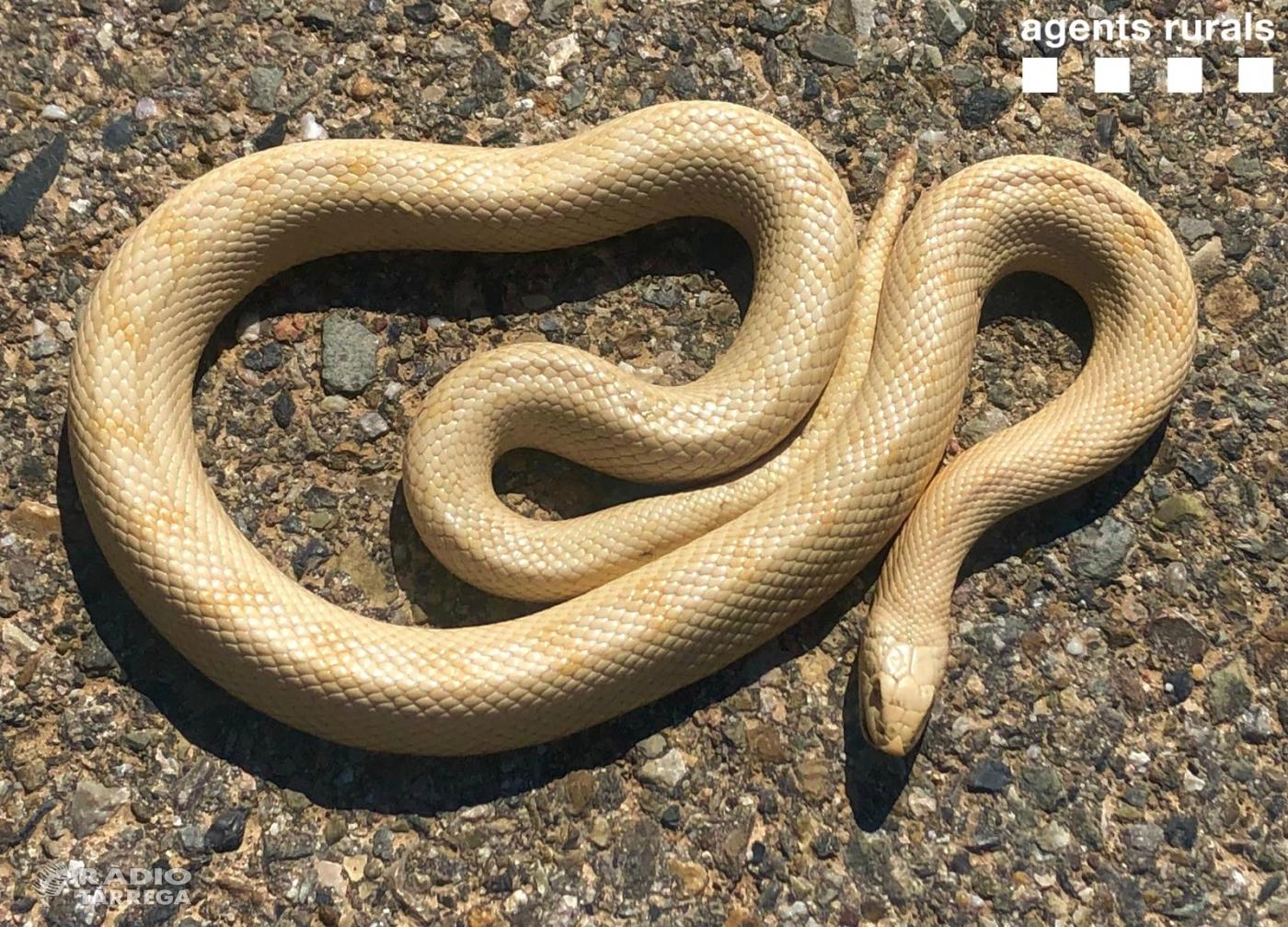Els Agents Rurals descobreixen un exemplar de serp albina a Vallbona de les Monges