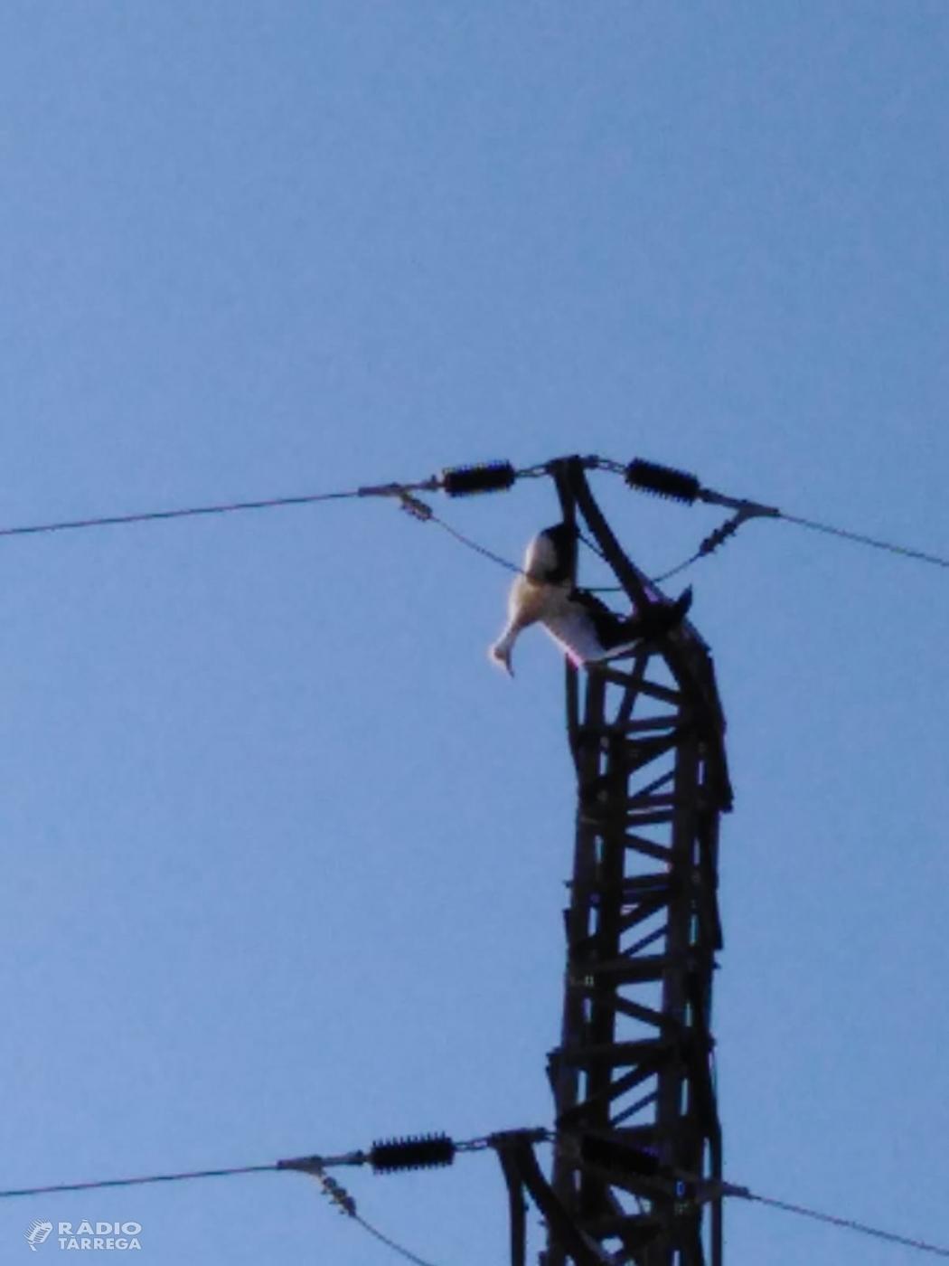 El Grup d'Ecologia i de Medi Ambient de Tàrrega, denuncia la mort per electrocució d'un exemplar juvenil de cigonya