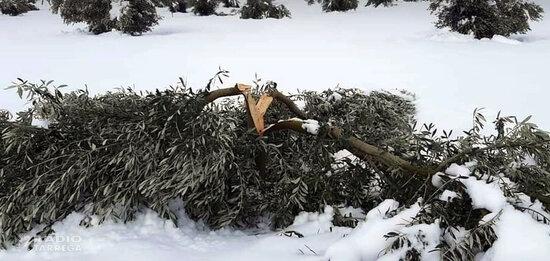 Les cooperatives agràries estimen en 35.000 les hectàrees d'olivera afectades pel temporal Filomena