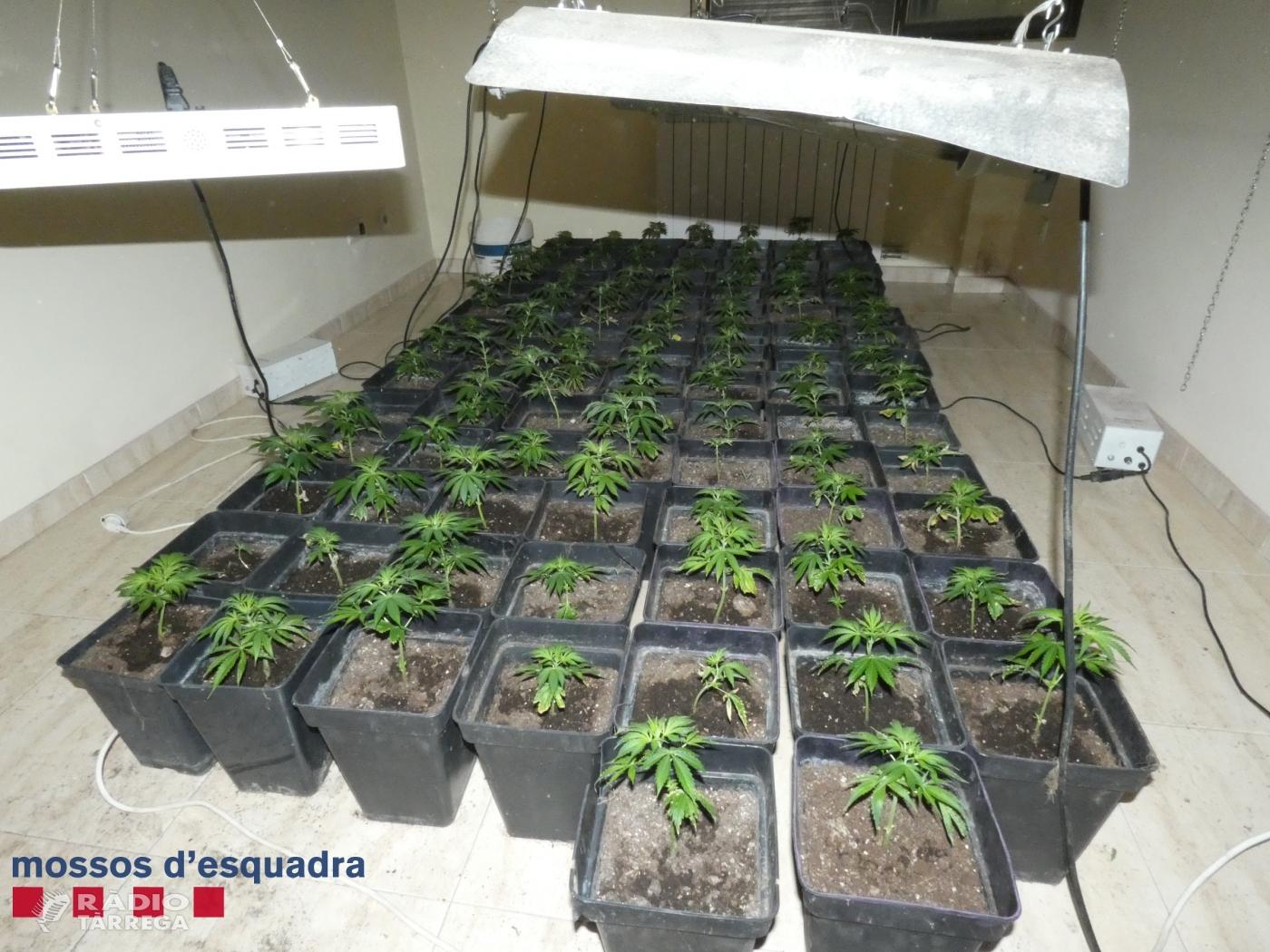 Dos detinguts per cultivar marihuana en un domicili de Cervera