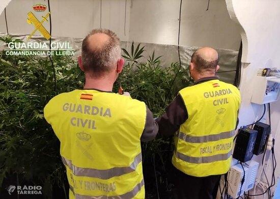 Detenen un home i una dona acusats de vendre marihuana que ells mateixos cultivaven a casa seva, a l'Urgell