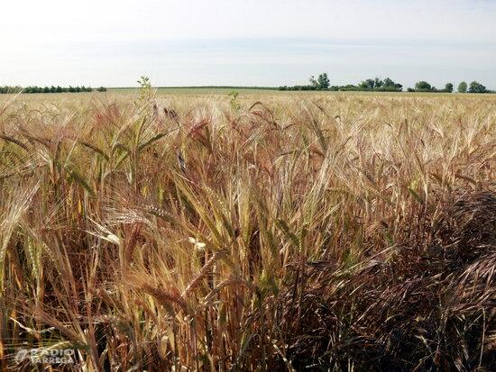 """Unió de Pagesos no preveu """"una gran campanya"""" del cereal per la falta de pluges i els problemes amb la fauna salvatge"""