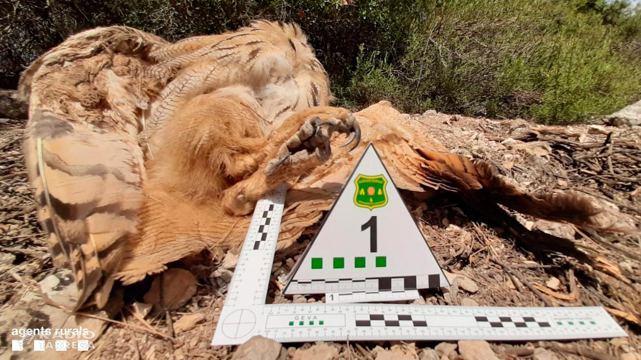 El Grup Especial de Verins i Antifurtivisme dels Agents Rurals enxampa a Verdú a una persona matant un Duc, una espècie protegida