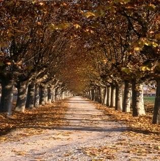 Arbres ornamentals de l'Urgell