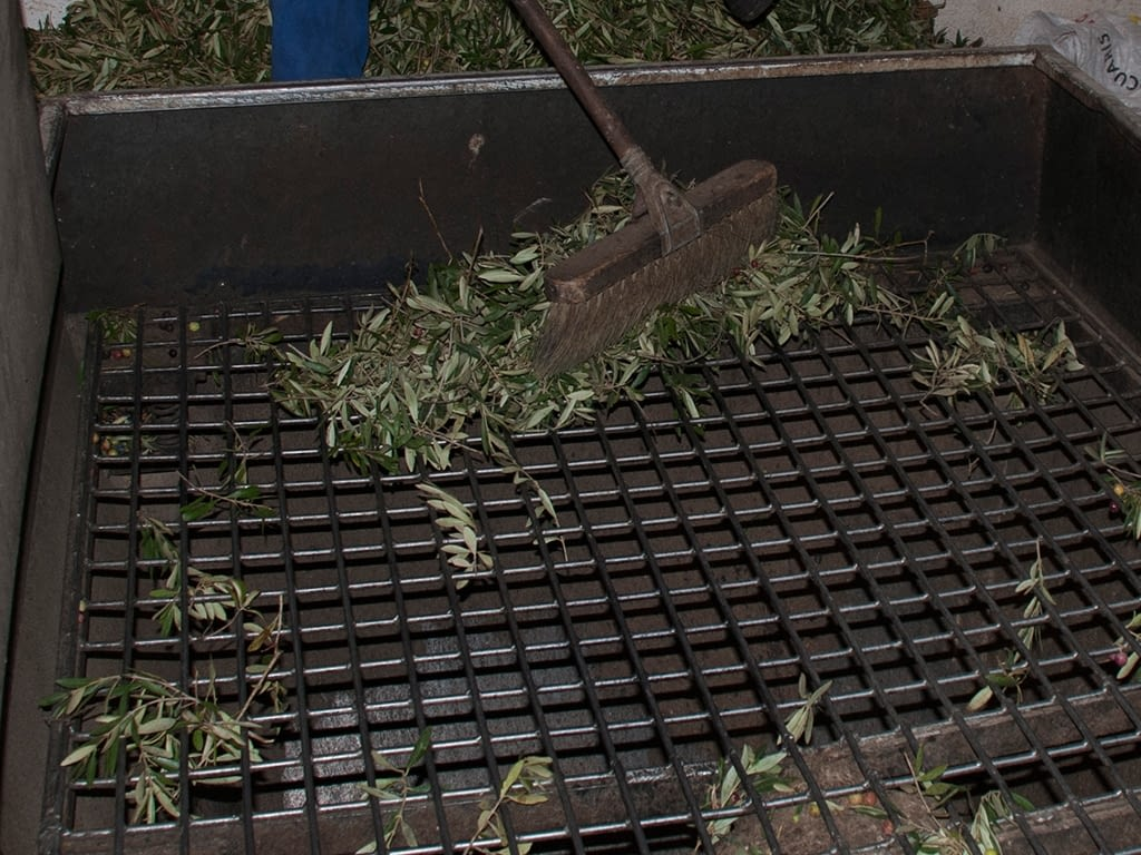 Quitando hojas aceituna