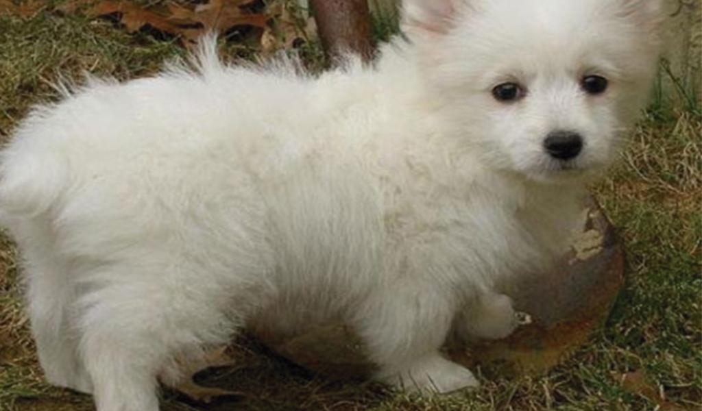 Corgipoo (Poodle y Corgi). Esponjosamente bonito.