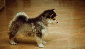 Pomski (Pomerania y Husky). Belleza nórdica y encanto en miniatura.