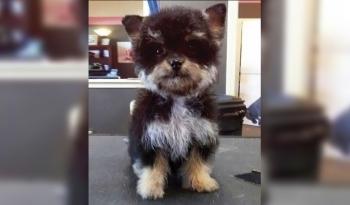 Yorkipoo (Yorkshire Terrier y Caniche). Dulzura en miniatura