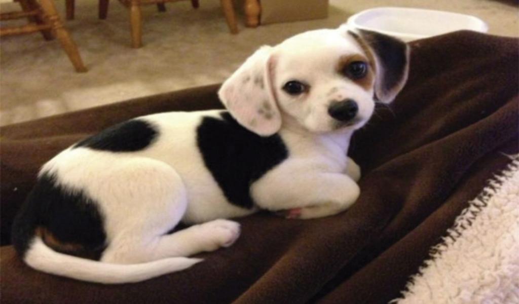 Cheagle (Chihuahua y Beagle). Derrite el corazón.