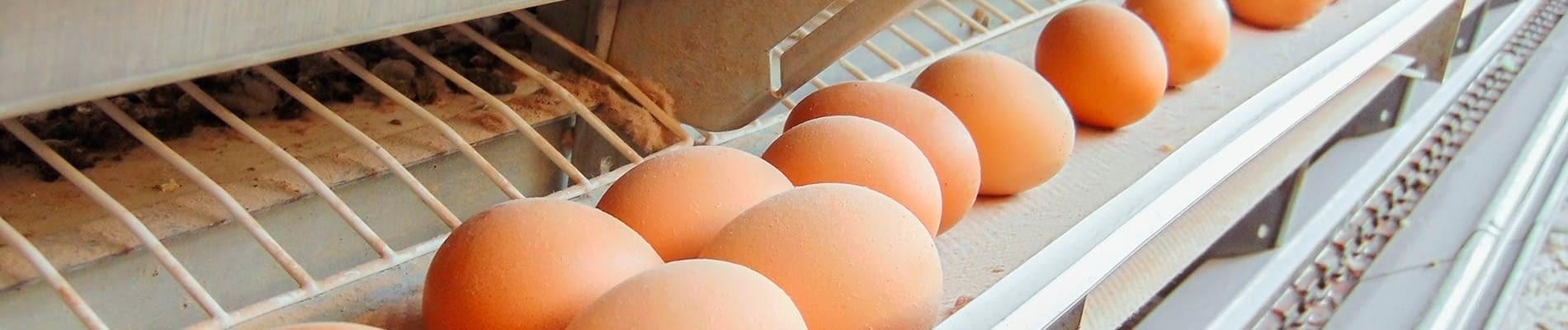 Banda transportadora recogida de huevo