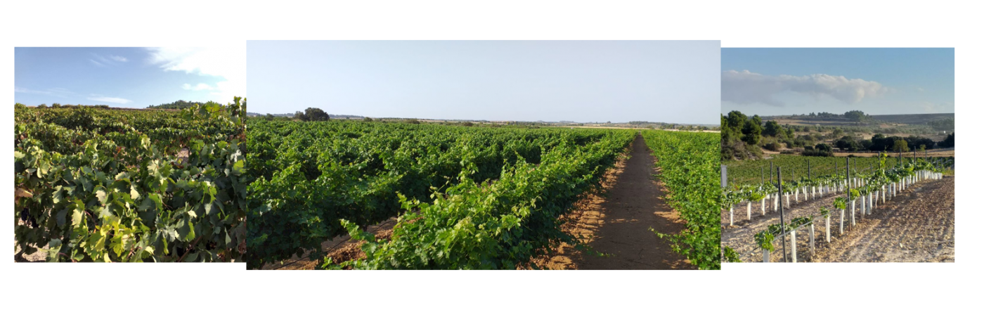 Our wineyards