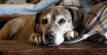 Cuidados para perros mayores